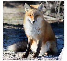 Island Beach Fox Poster
