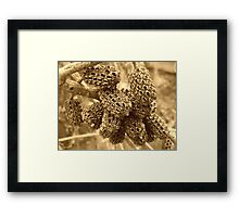 """""""She-Oak"""" Pods... Framed Print"""