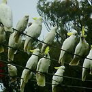 Cockatoos on a Wire by Samantha  Goode