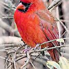 Handsome Mr. Cardinal by suzannem73