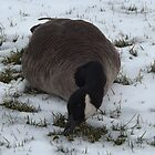 Canada Goose, Jersey City, New Jersey by lenspiro