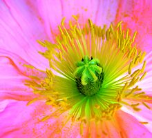 Pink Poppy by JuliaWright