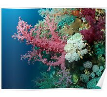 Soft Coral at Daedalus. Poster