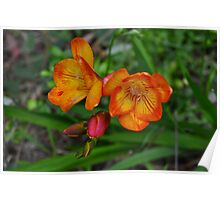 Growing wild - Freesia Poster