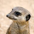 Meerkat Portrait by Robert Scammell