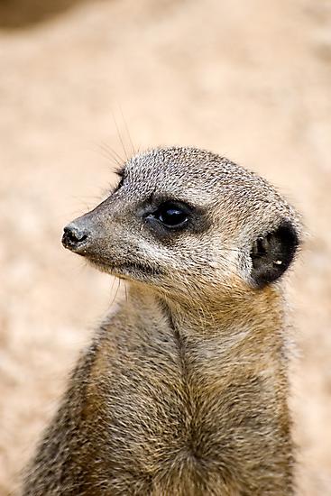 Meerkat Portrait by Robert Scammell