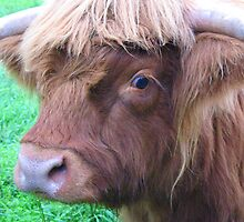 Hairy Coo by jacqi