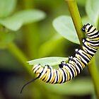 Striped Caterpillar by Robert Scammell