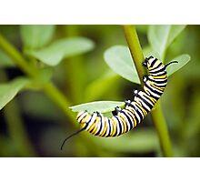 Striped Caterpillar Photographic Print
