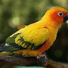 Sun Conure II by Damienne Bingham