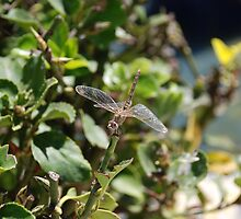 dragonfly by briandhay