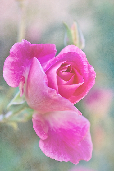 Romantic rose in a mist by Celeste Mookherjee