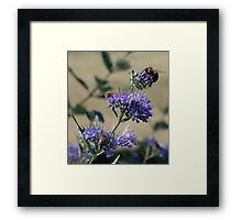 Bumble bees x 3 Framed Print