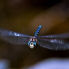 Dragonfly Flight by David Friederich