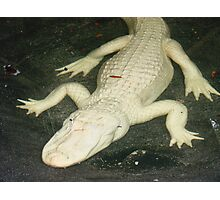 Albino Alligator Photographic Print