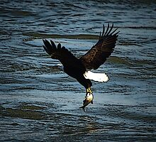 Bald Eagle Catching a Fish by Crystal Wightman