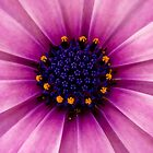 Purple Daisy by Carly Chapman