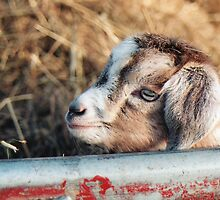 pigme goat  by ofeelia