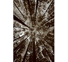 mountain ash..canapy. Photographic Print