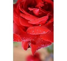 red love rose Photographic Print