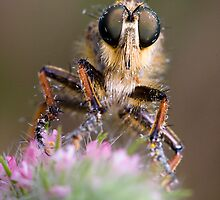 Robberfly by André Gonçalves