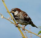 Male Sparrow by SWEEPER