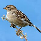 Female Sparrow by SWEEPER
