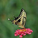 Tiger Swallowtail by BigD