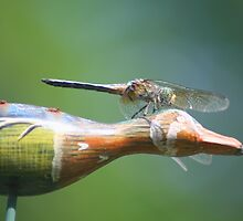 Dragonfly Co Pilot by SmilinEyes