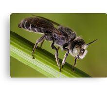 Male Megachilid bee (genus Hoplitis sp.) Canvas Print