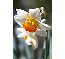 Daffodil Bells Photographic Print
