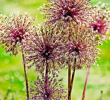 Allium flowers by Vicki Field