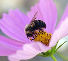 Bumble and Cosmos by DiEtte Henderson
