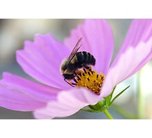 Bumble and Cosmos Photographic Print