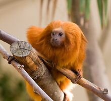Golden Lion Tamarin by André Gonçalves