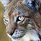 Weekly contest - Lynx