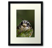 Mining bee (Andrena sp.) Framed Print