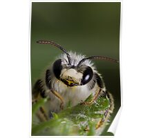 Mining bee (Andrena sp.) Poster
