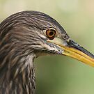 Portrait of a juvenile Black Crowned Night Heron  by RichImage