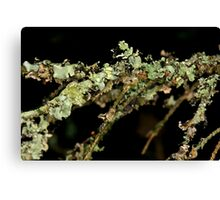 Fir Tree Lichen Canvas Print
