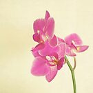 Pink Orchid by Cassia