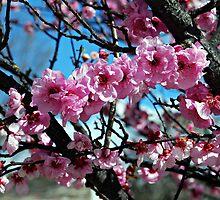 Cherry Blossoms at Marulan by Peta Jade
