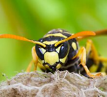 Wasp In Nest by André Gonçalves