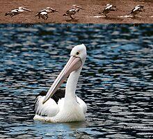 Safe Landing, Australian Pelican (Pelecanus conspicillatus) by Normf