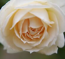 Rose...pure and simple  by LynnEngland