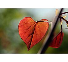 Cercis Canadensis 'Forest Pansy' Photographic Print