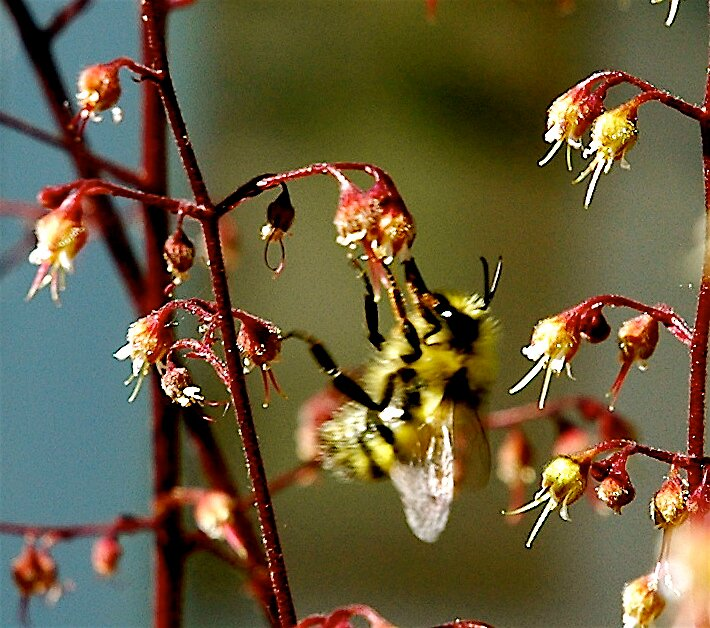 BUSY BUMBLE BEE by MsLiz