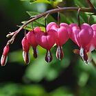 Lamprocapnos Spectabilis 'Bleeding Heart' by Samantha Creary