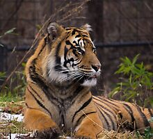 Resting Tiger by tinster4x4