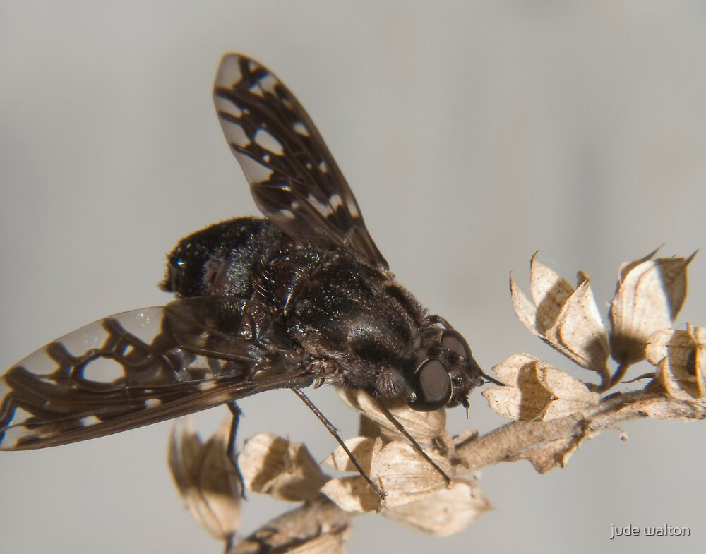 tiger bee fly (anthrax tigrinus) by jude walton